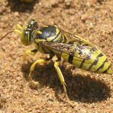 $1,000 Giving Level: Sand Wasp - Glenostictia pictifrons