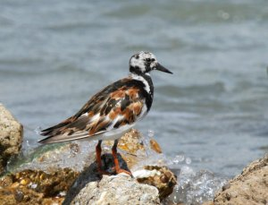 Photo compliments of Jean and Lynn Laswell: a Ruddy Turnstone in Port Aransas
