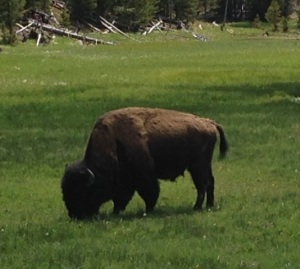 Tatanka in Yellowstone National Park; photo taken from inside the safety of the Hook Jeep!